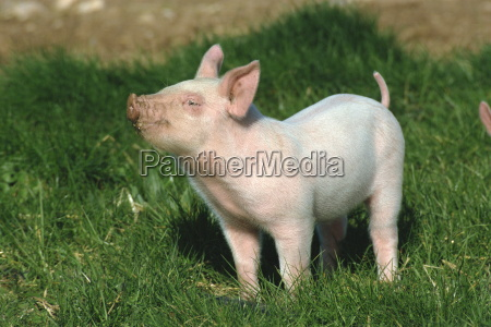 pretty little piglet posing for camera