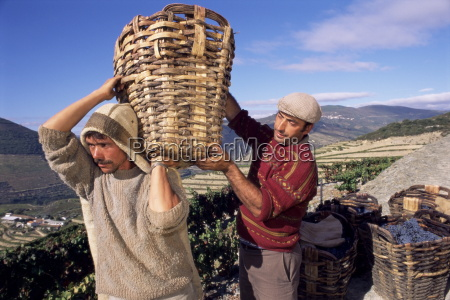 grape pickers lifting baskets quinta do
