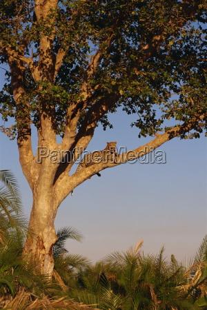 leopard panthera pardus in a tree
