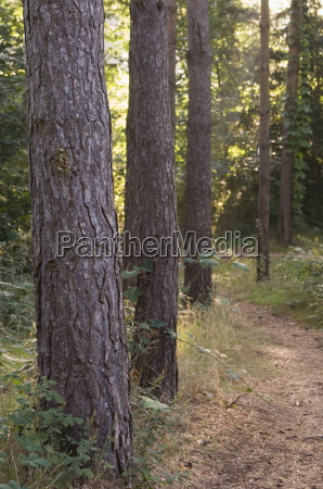 woodland path trough scots pine trees