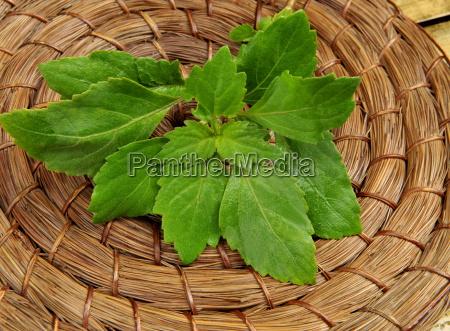 pogostemon cablin blanco patchouli used in
