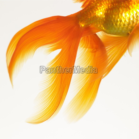 close up of a goldfish tail
