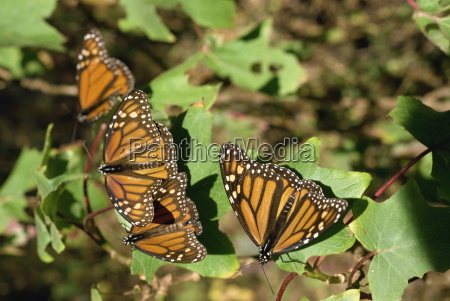 monarch butterflies in mexico north america