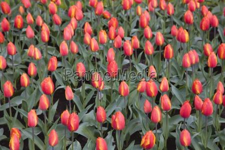 tulips keukenhof park and gardens near