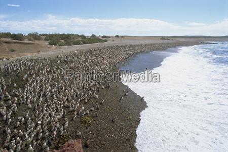 thousands of magellanic penguins gather at