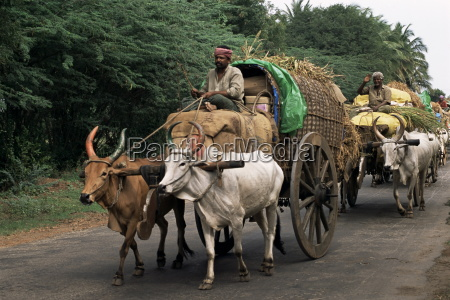 bullock carts are the main means