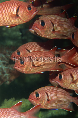 schooling squirrel fish sargocentron species are