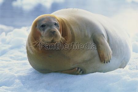 bearded seal on ice svalbard arctic