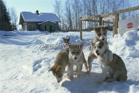 group of five purebred siberian husky
