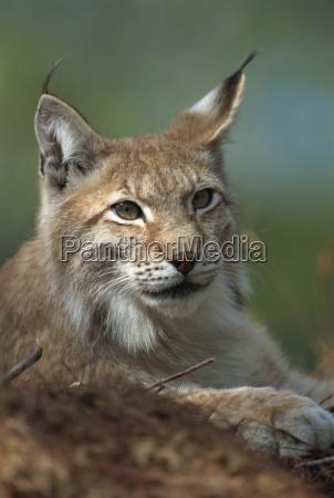 european lynx ranua wildlife park finland