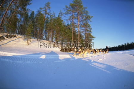 caveris husky safaris pure bred siberian
