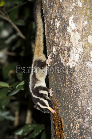 rarely seen striped possum dactylopsila trivirgata