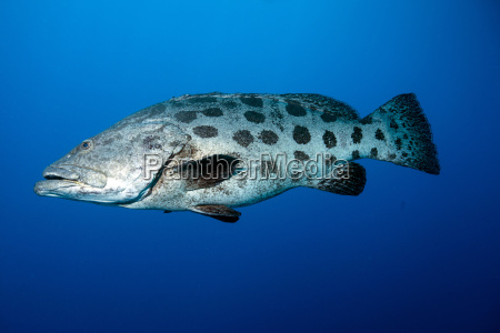 potato cod epinephelus tukula potato grouper