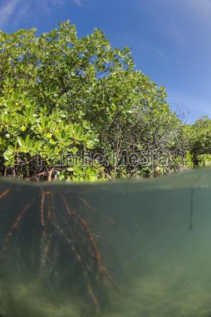 rhizophora sp mangrove above and below