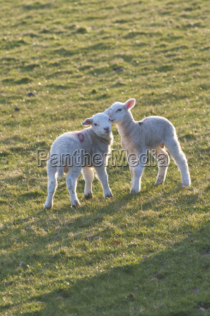 lambs play in a field powys