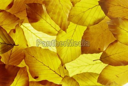 back lit autumnal beech leaves on