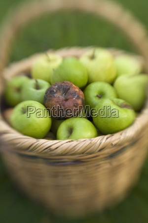 basket of green apples with one