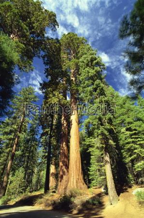 giant sequoia trees mariposa grove yosemite