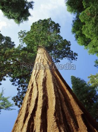 mariposa grove of giant sequoia trees
