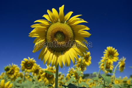 close up of sunflower in a