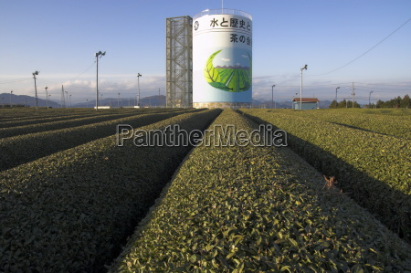 carefuly trimmed rows of tea shrubs