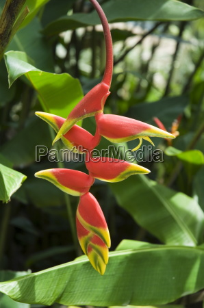 heliconia flower costa rica central america