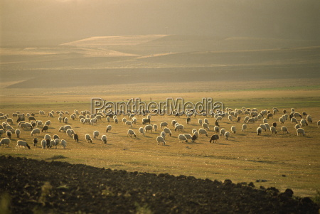 flock of sheep important in the