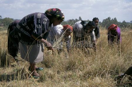 team of women harvesting crops soddo