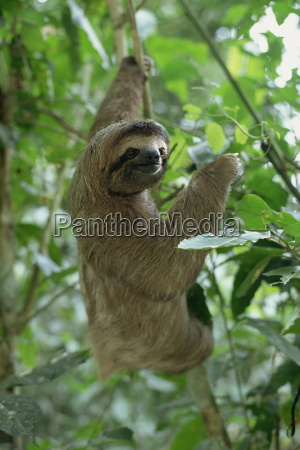 three toed sloth manuel antonio park