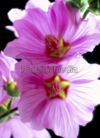 close up of tree mallow flowers