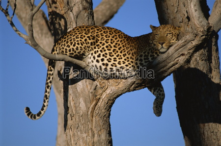 leopard panthera pardus in tree okavango