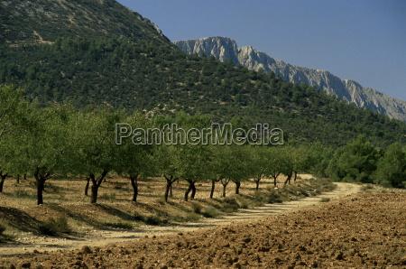 mountains and olive trees near velez