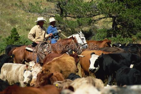 cattle round up in high pasture