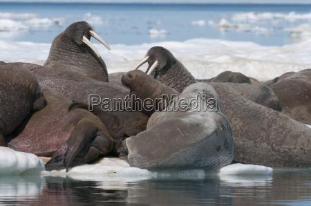 walrus odobenus rosmarinus females with baby
