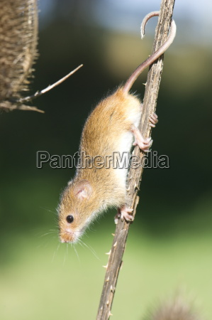 harvest mouse micromys minutus the smallest
