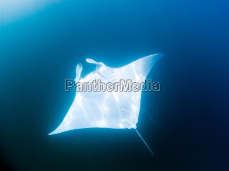 male manta ray with almost pure