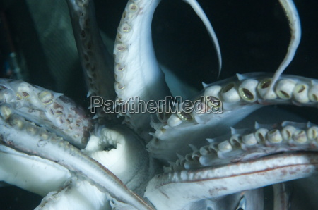 buccal cavity mouth and tentacles of