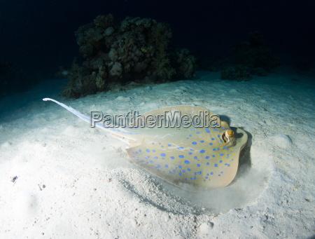 blue spotted ribbontail ray taeniura lemma