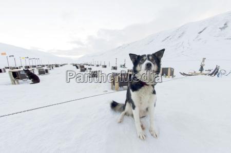 husky dog sled operation where each