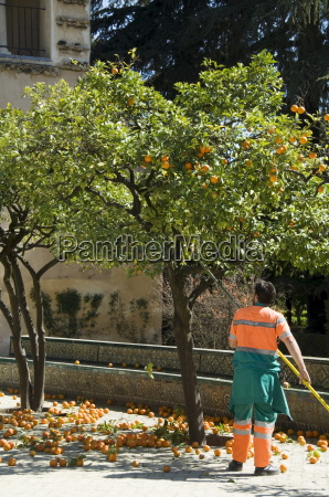 gardners removing ripe oranges from trees