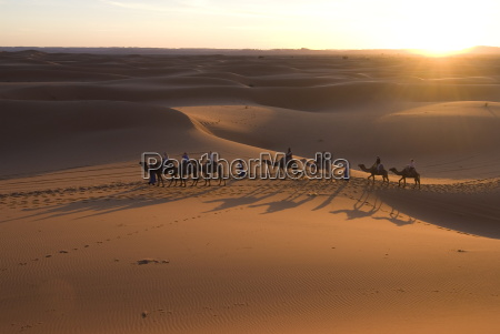 dromedaries taking tourists on a sunset