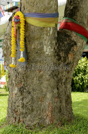 the first rubber tree planted in