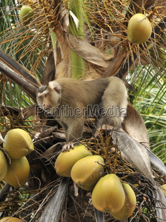 macaque monkey trained to collect coconuts
