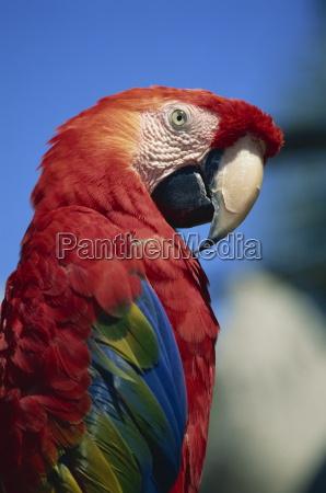scarlet macaw seaworld san diego california