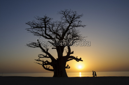 baobab tree and couple walking sine