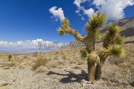 joshua tree forest yucca brevifolia on