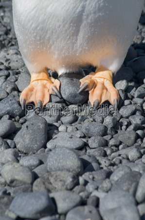 gentoo penguins feet at brown bluff