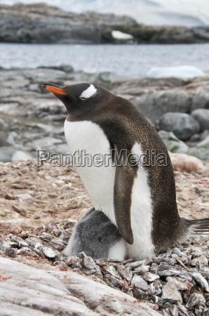 gentoo penguin with young chicks jougla