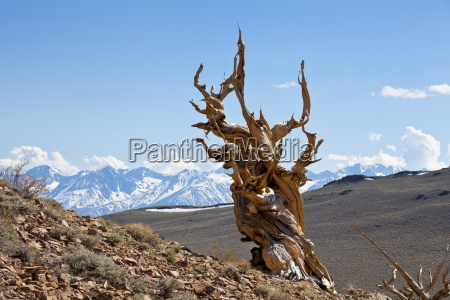 a twisted very old bristlecone pine