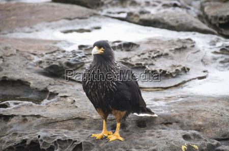 striated caracara bird carcass island falkland
